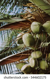 Wild palm tree full of coconuts.
