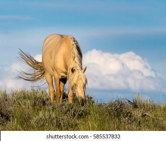 Wild Palomino Stallion of Sand Wash Basin, Northwest Colorado