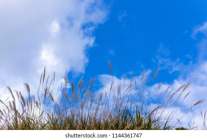 Wild pampas flower blooming against on cloud and blue sky background
