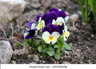 Wild pansy or Viola tricolor or Johnny jump up or Heartsease or Hearts ease or Hearts delight or Tickle my fancy or Jack jump up and kiss me or Come and cuddle me or Three faces in a hood