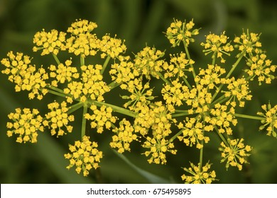 Wild parsnip flowers, Pastinaca sativa, an invasive species growing in a meadow at Mount Sunapee State Park in Newbury, New Hampshire.