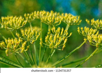 Wild parsnip flowers, Pastinaca sylvestris summer background