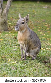 Wild patagonian hare