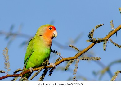 Wild Peach-faced Lovebird perched on a tree branch.  One bird from a wild colony that lives in Arizona.