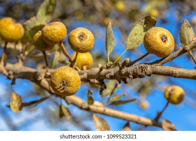 Wild pear (Pyrus pyraster) fruit on branch on sunny day on greece countryside