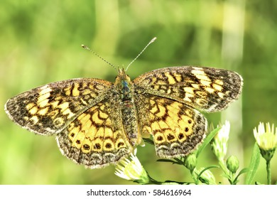 Wild Pearl Crescent Butterfly Portrait