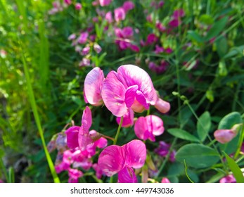 Wild peas (Vicia Cracca) on a meadow