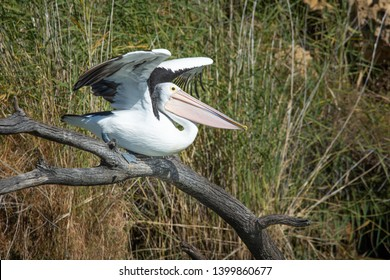 Wild Pelican about to take flight, Australian native water bird Pelecanus conspicillatus launches from its perch into the air. Walker Flat South Australia.