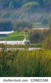 Wild pelican fishing in lake inside Yanchep National Park in West Australia