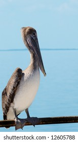 Wild pelican on a caribbean beach