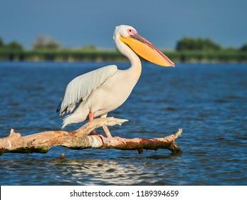 Wilde Pelikane im Donaudelta in Tulcea, Rumänien