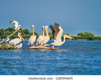 Wild Pelicans in The Danube Delta in Tulcea, Romania
