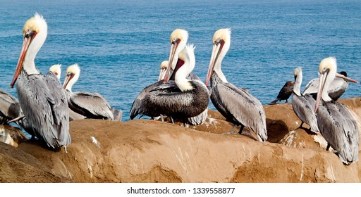 Wild Pelicans on an Ocean overlook with the blue Sea in the background