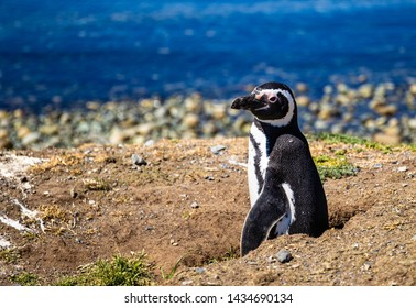 Wild Penguin on an Island in Chile (Punta Arenas)