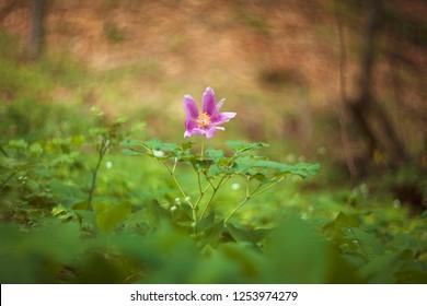 Wild peony flower (Paeonia daurica) close up. Mild focus.