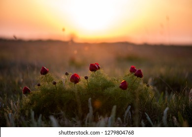 Wild peony is thin-leaved (Paeonia tenuifolia), in its natural environment against the sunset. Bright decorative flower, popular in garden landscape design - selective focus.
