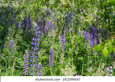 Wild perennial lupine with blue and purple flowers and young pods of seeds on stalks among tall grass in selective focus