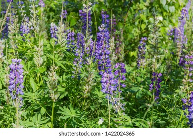 Wild perennial lupine with blue and purple flowers and young pods of seeds on stalks among tall grass, fragment of thickets close-up