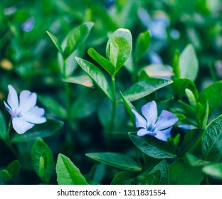 Wild periwinkle bloomed in spring.