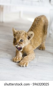 wild pet lion cub got angry and prepared to attack the enemy at home