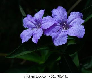 Petunia silvestre creciendo a lo largo de un sendero en el bosque
