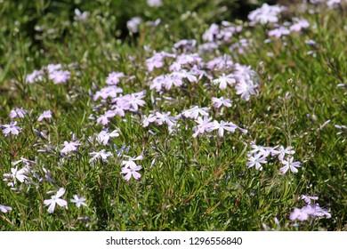 Wild Phlox subulata or creeping phlox in garden