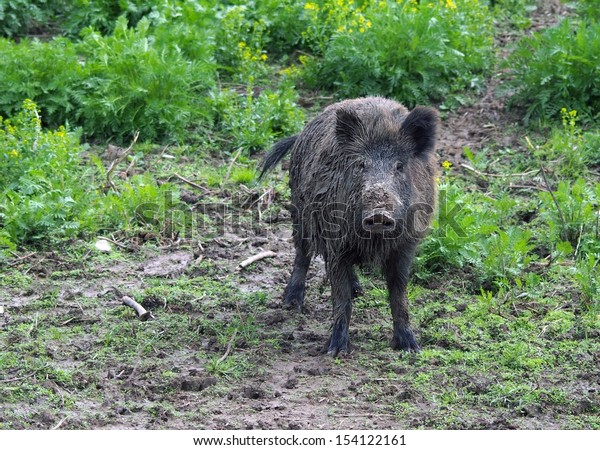 Wild pig or wild boar in grass and mud. Genus: Sus