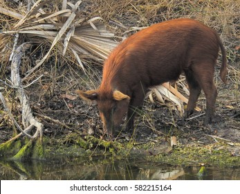 Wild pig eating by the lake in forest
