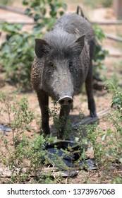 Wild pig in farm