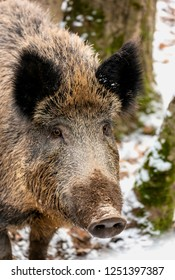 Wild pig in the forest
