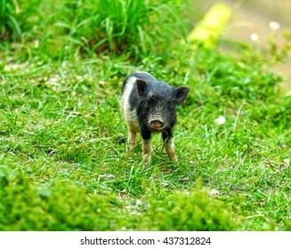 Wild pig in nature