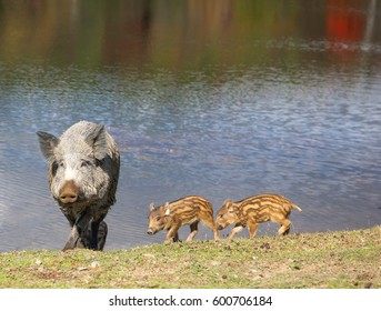 Wild Pig and Piglets Walking by the Lake