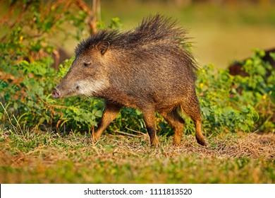 Wild pig, white-lipped peccary, Tayassu pecari, exotic animal running in the nature habitat, beautiful evening sun light, during sunset, Barranco Alto, Pantanal, Brazil.