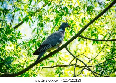 Wild pigeon Wild Dove -  sits and a tree and looks for food
