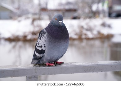 wild pigeon in the winter park by the lake
