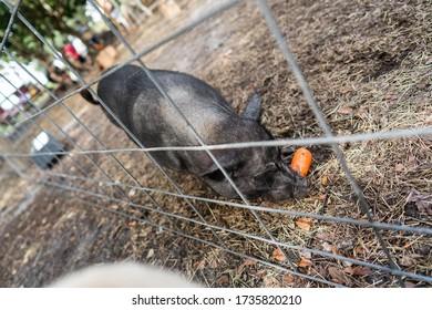 Wild Piggy eating carrot on the farm