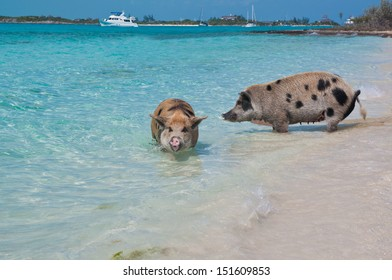 Wild pigs on Big Majors Island in The Bahamas, lounging and walking around in the sand and ocean, swimming in the clear blue water.  copy space available