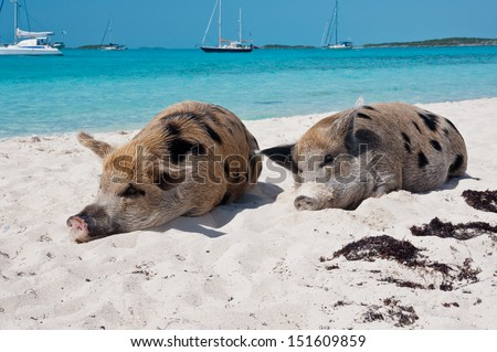 Wild pigs on Big Majors Island in The Bahamas, lounging and walking around in the sand and ocean.