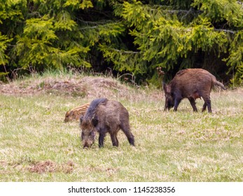 Wild pigs on a meadow by the woods