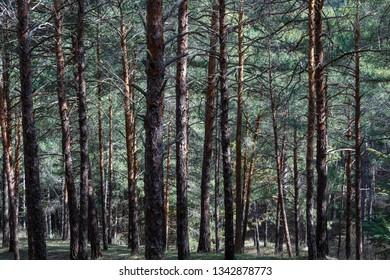 Wild pine forest, albar. Pinus sylvestris.
