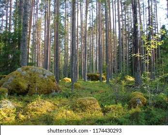 Wild pine forest and moss stone in Finland
