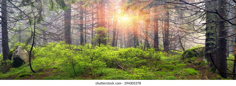 Wild pine trees at dawn during sunrise in a beautiful alpine forest wild Carpathian Ukraine after the rain. High humidity in the foggy haze, a lot of moss and lichen the stones and rocks, no people