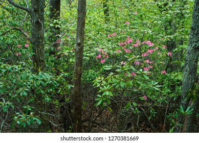 Wild pink azalea (Rhododendron nudiflorum) blooming among great rhododendrom (Rhododendron maximum) in deciduous forest along Appalachian Trail in Blue Ridge Mountains of Virginia, USA