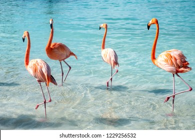 Wild Pink Flamingos on a Caribbean Beach
