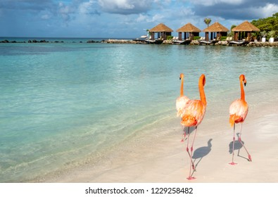 Wild Pink Flamingos on a Caribbean Beach With Cabanas in the Background