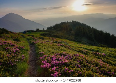 Wild pink flower of rhododendron (alpine rose), grow high in the mountain hill