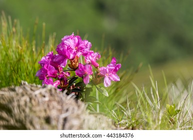 Wild pink flower of rhododendron (alpine rose), grow high in the mountain hill, nature background