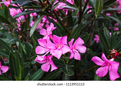 Wild pink flowers and green leaves in Croatia, floral background