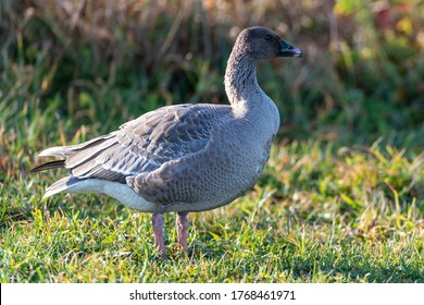 A wild pink footed goose stands in a field of grass with the sun shining on its body. The goose has a brown feathered chest and black and white feathers on its tail, and a pink ring around its beak.