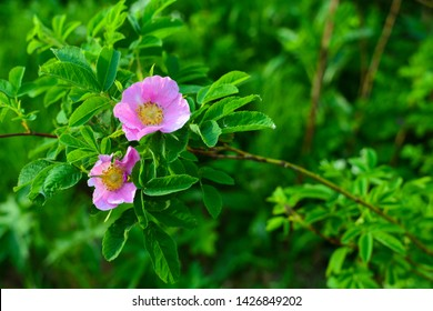 Wild pink rose in nature. Picture of wild pink rose in nature